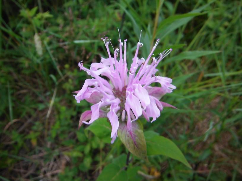 Bee-balm or wild bergamot (Monarda fistulosa)