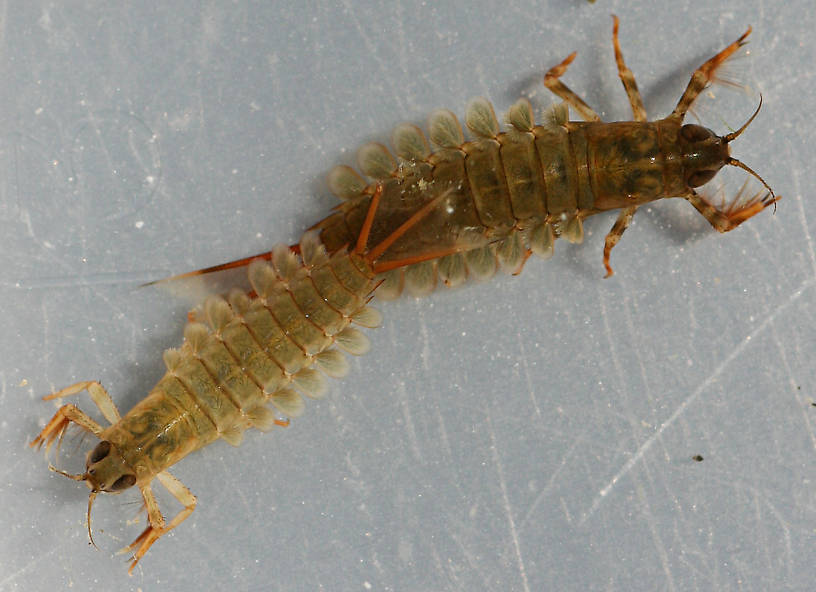 Nymph shown in photo above and earlier instar. Collected July 27, 2014. Smaller nymph 10 mm (excluding cerci).