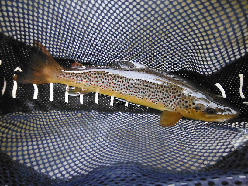 Colorful 14-inch brown on a #12 Light Cahill