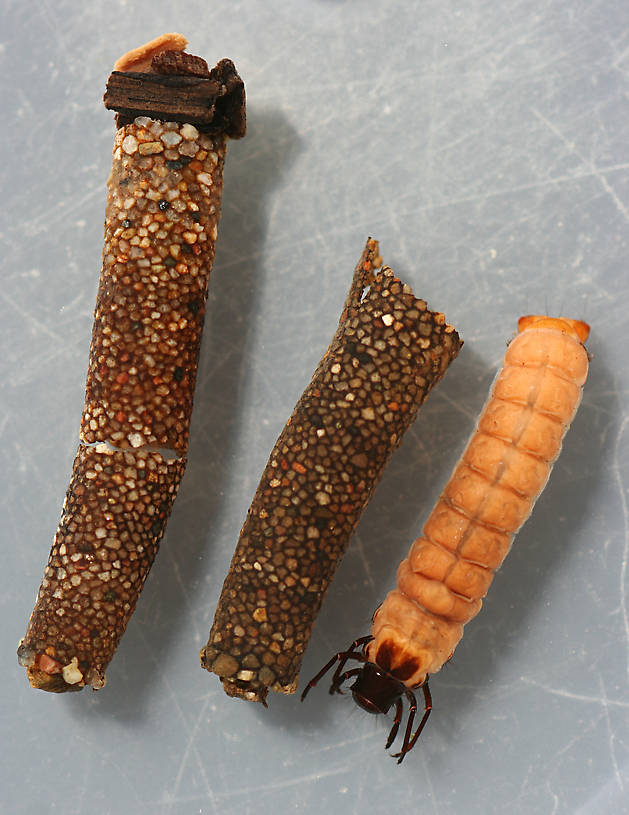 Nerophilus californicus cases used by Heteroplectron californicum larvae. Heteroplectron larva in photo was using the case on it's left.