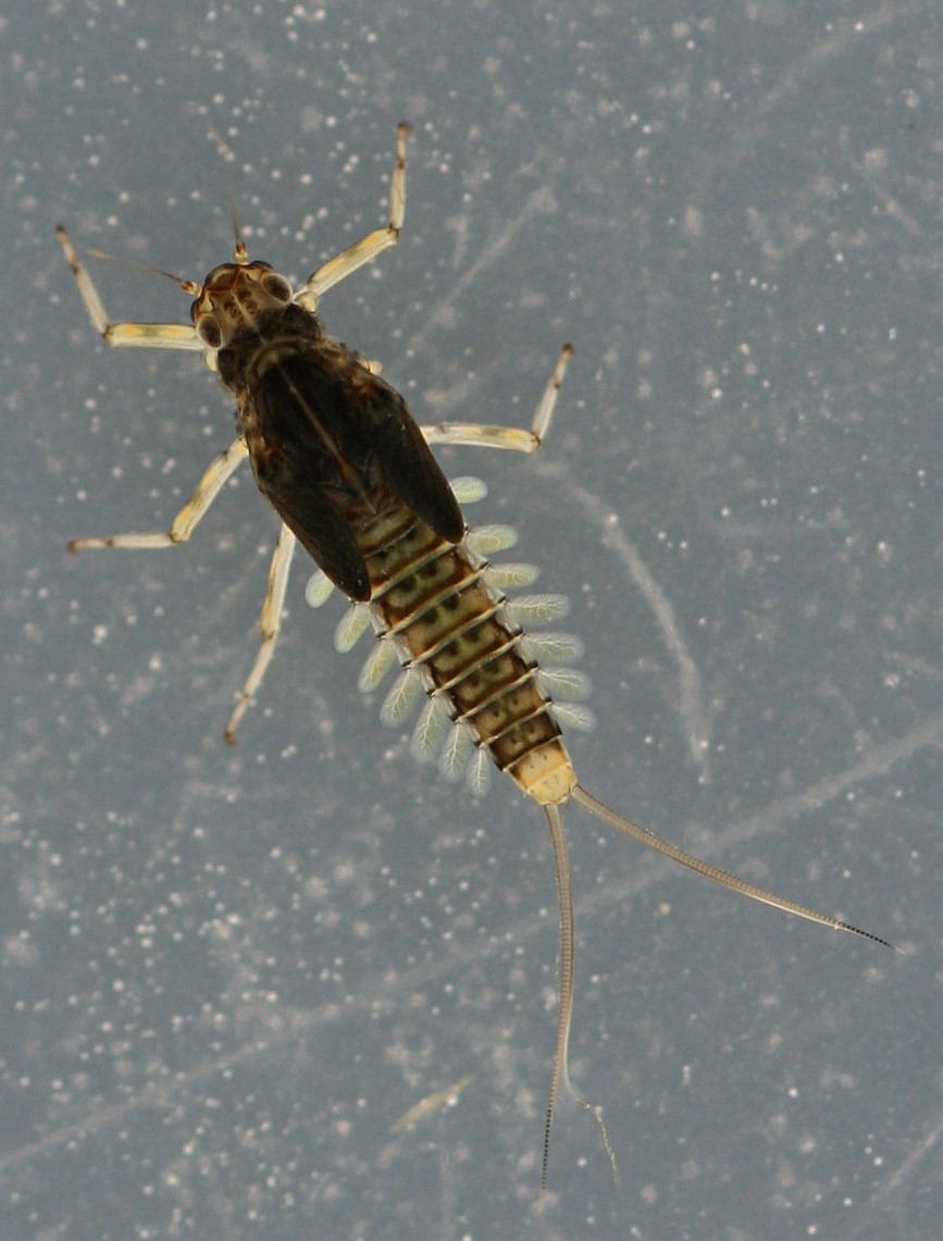 March 28, 2014. Mature female nymph. Live specimen. 7 mm (excluding cerci).