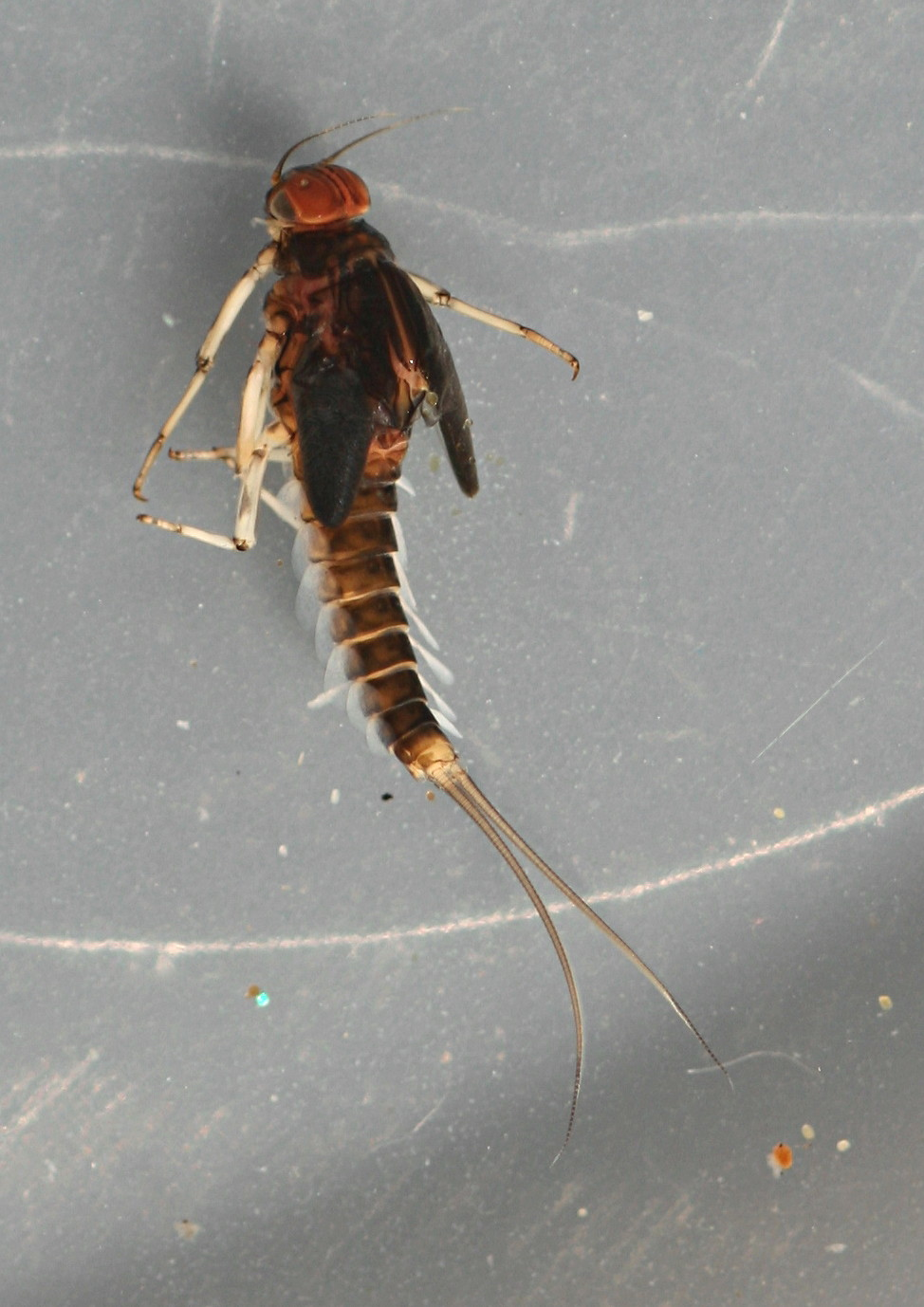 February 15, 2014. Mature male nymph. 7 mm (excluding cerci). In alcohol.