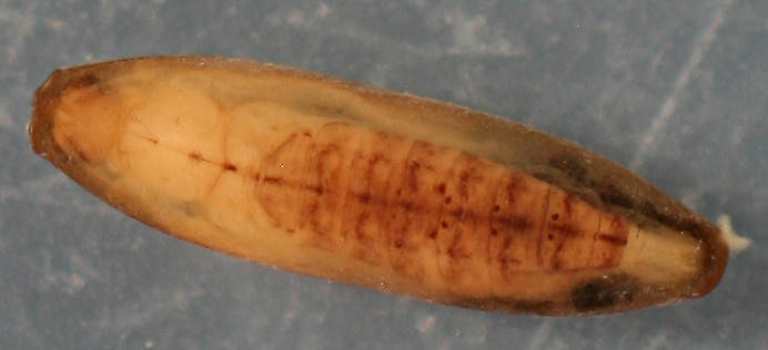 Immature pupa in cocoon. 6 mm. In alcohol. Collected March 29, 2013.