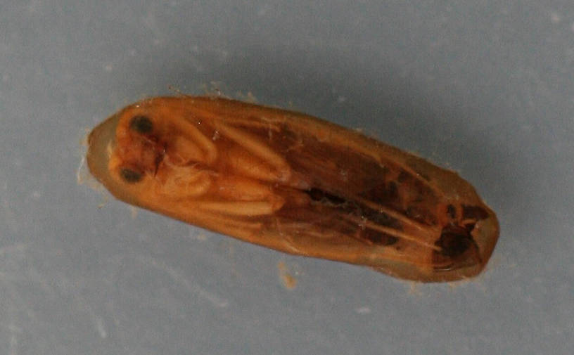Mature pupa in cocoon. 6 mm. Collected May 15, 2009. In alcohol.