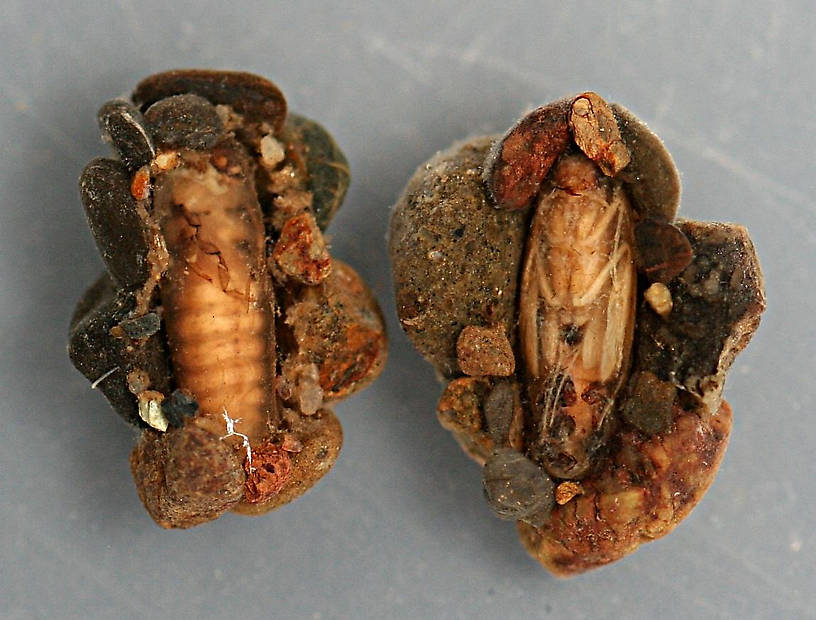 Prepupa and pupa in cases. Prepupa and pupa 6 mm. Cases 9 mm. Collected July 3, 2008. In alcohol.