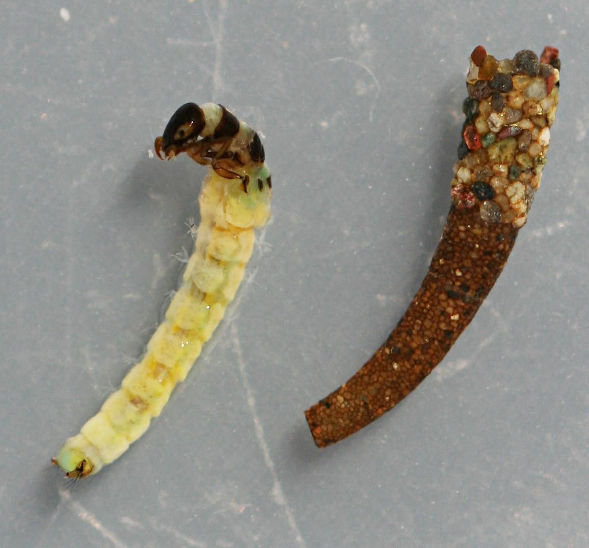Marilia flexuosa larva and case. Larva 7 mm. Case 9 mm. In alcohol. Collected April 17, 2014.