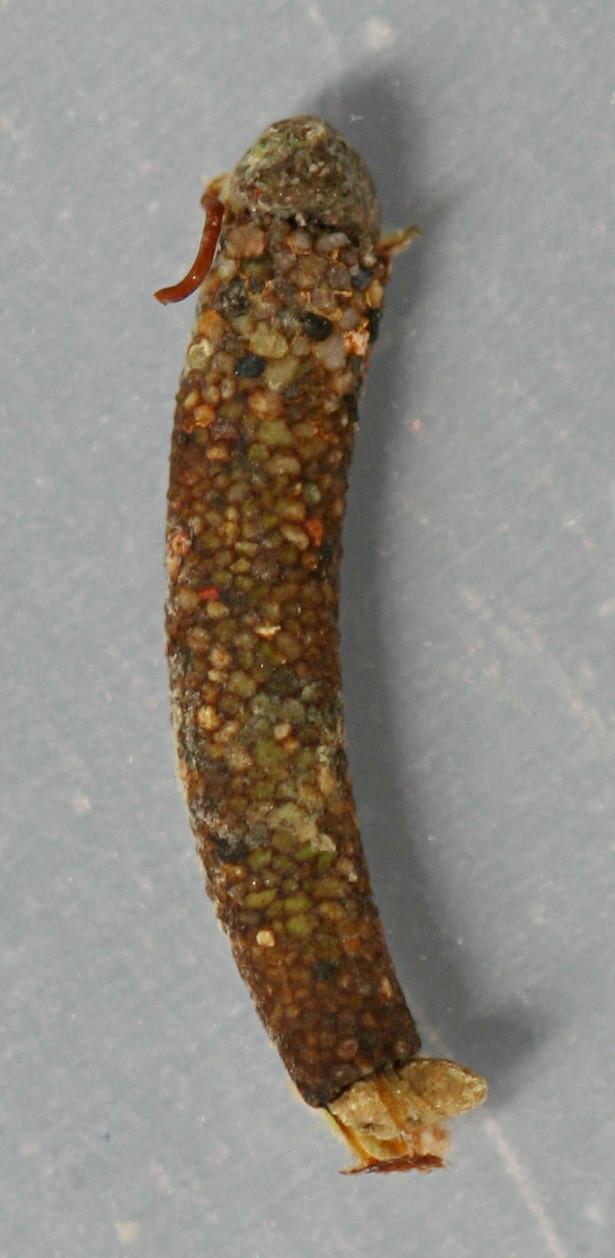 Marilia flexuosa prepupal case. 10 mm. Collected April 19, 2014. In alcohol.