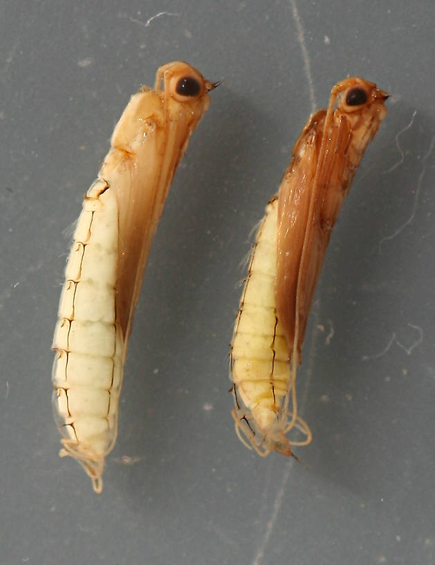 Marilia flexuosa immature pupae. 7 mm. In alcohol.