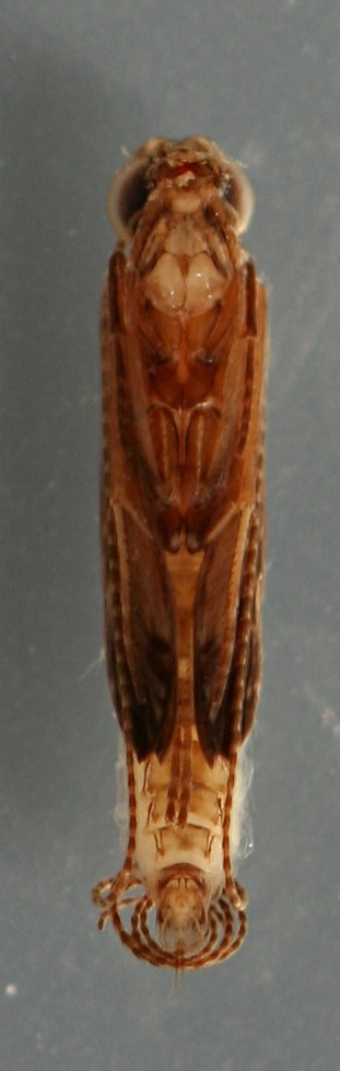 Marilia flexuosa pupa. 7 mm. Collected June 15, 2013. In alcohol.