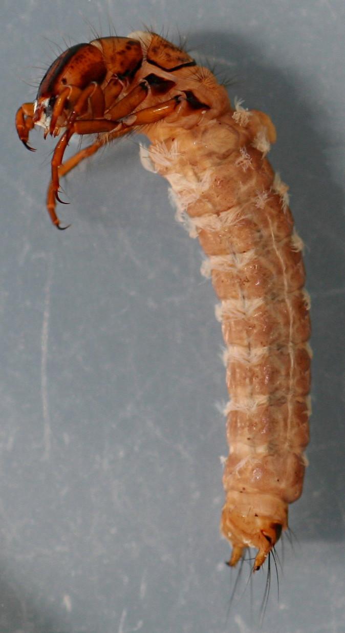 Nerophilus californicus. Larva 11 mm. Collected April 11, 2008. In alcohol.