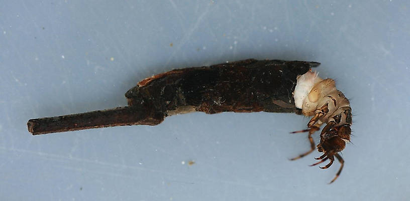 Mature larval case. 23 mm. (not including trailing stick). In alcohol.