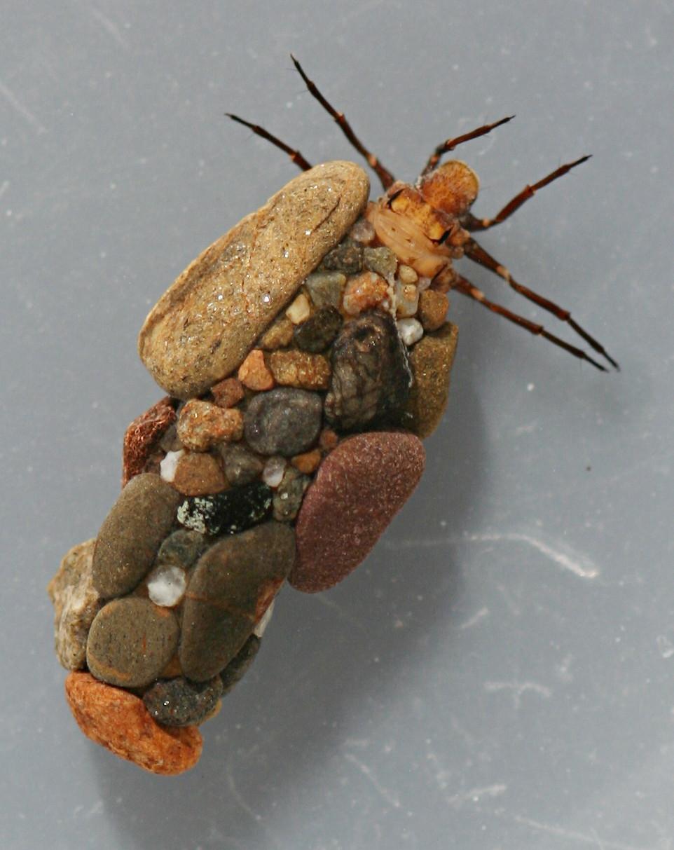 Mature larva. Collected June 13, 2007. Larva 10 mm. Case 12 mm.