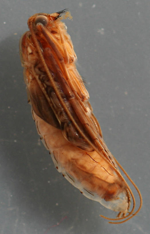 Mature pupa. 11 mm. Collected August 25, 2007.