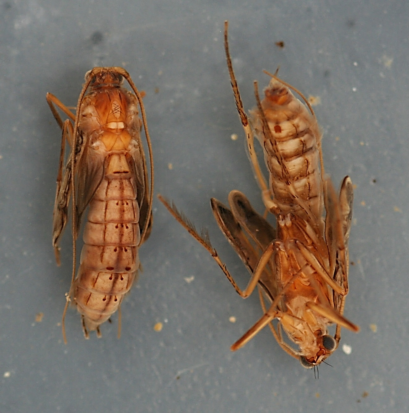 Mature pupae. 11 mm. Collected August 25, 2007.