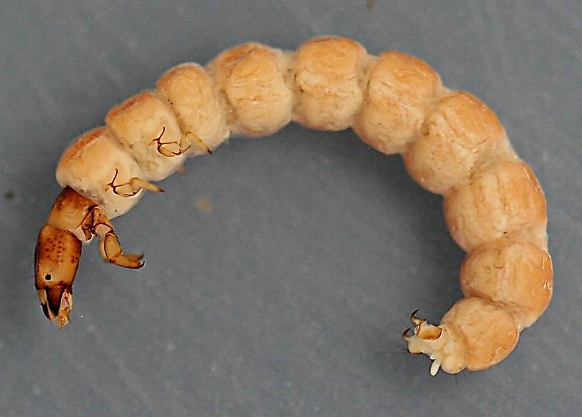 Tinodes larva. 11 mm.
