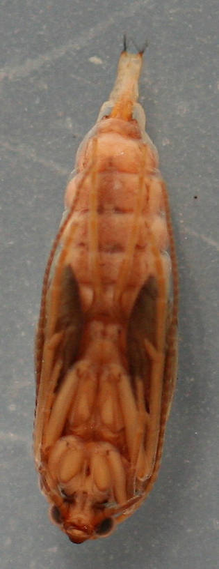 Ventral view of pupa. 10 mm.