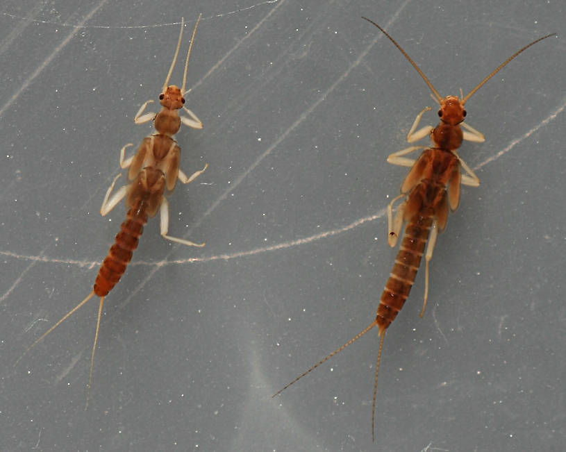 Female (left) and male (right). 5.5 - 6 mm.