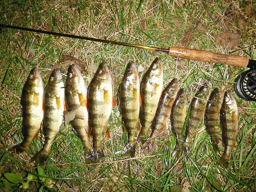 Tonight's haul - no catch and release here!!