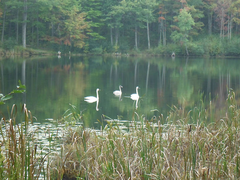 Pair of trumpeter swans with a cygnet!