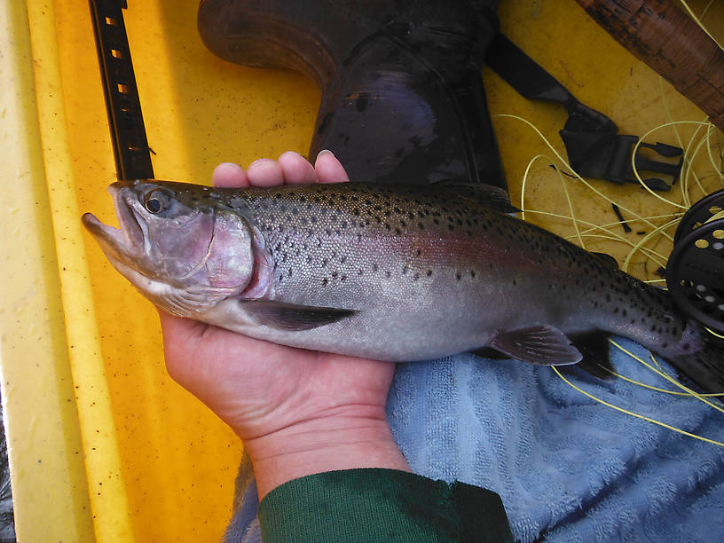 Big fat 16-incher, my biggest trout of the year (so far)