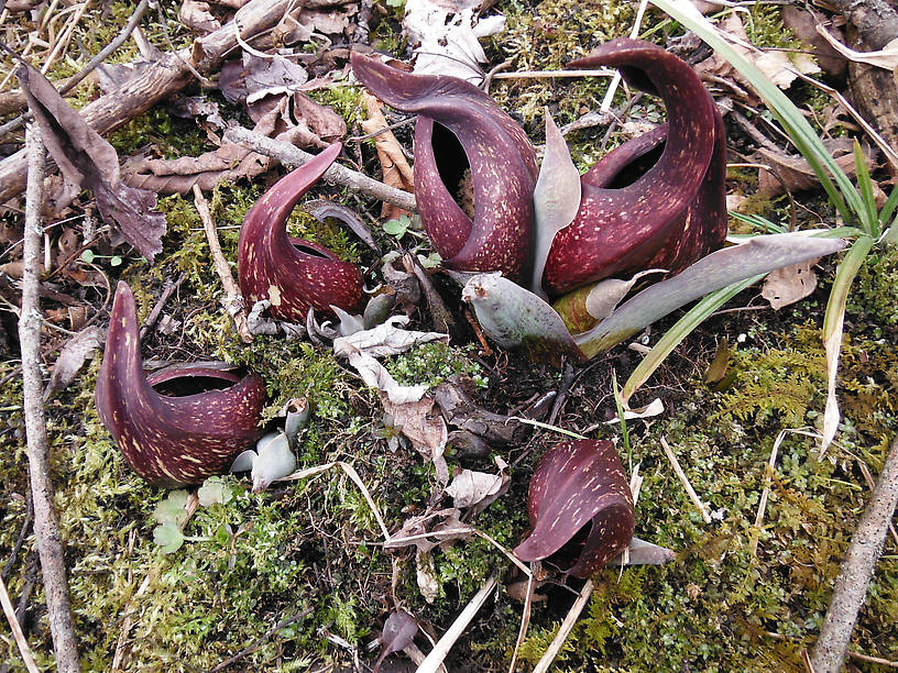 Skunk cabbage looking as alien as usual