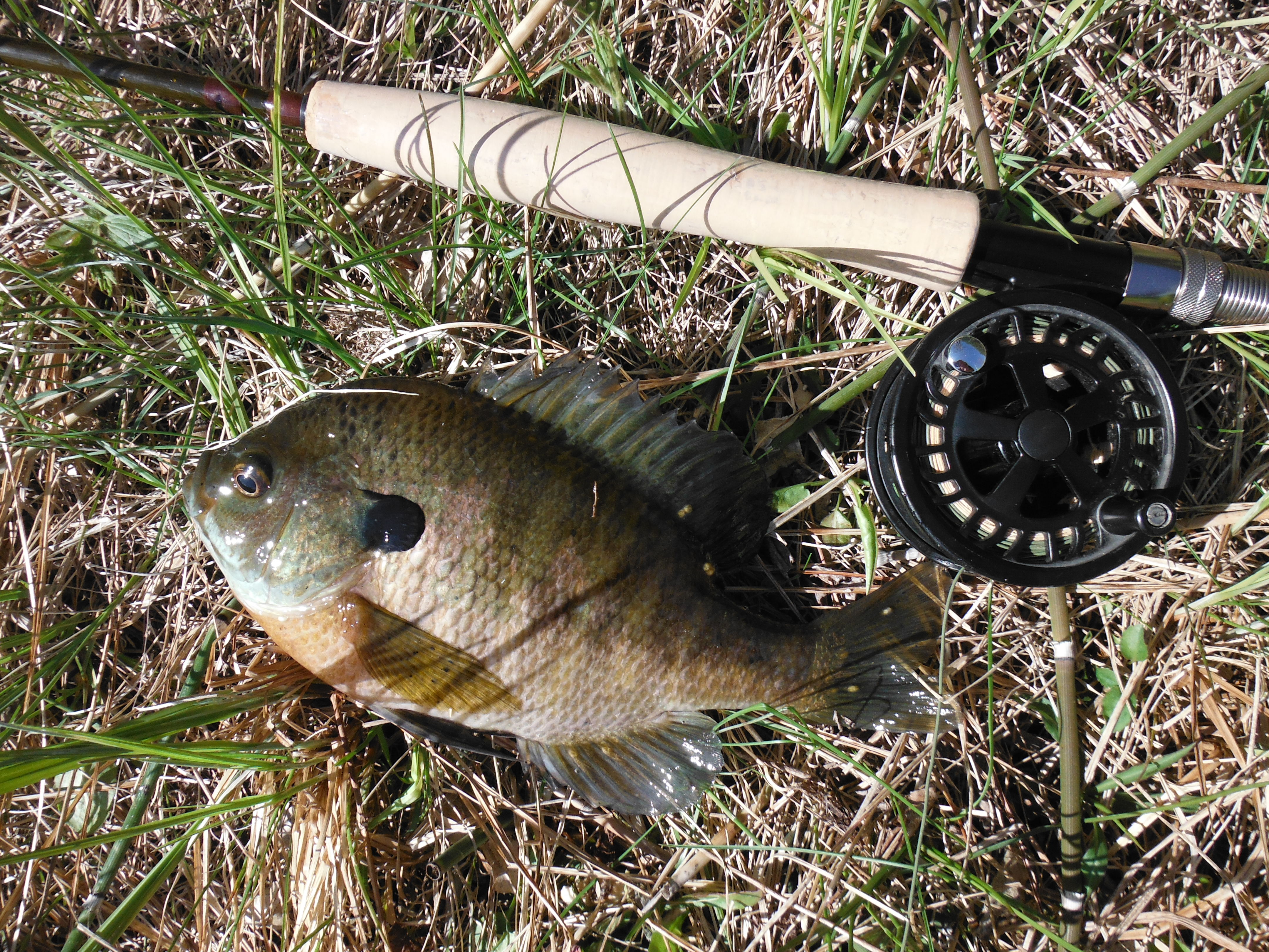 """Colorful bluegill, almost all sunnies were 7-9"""""""