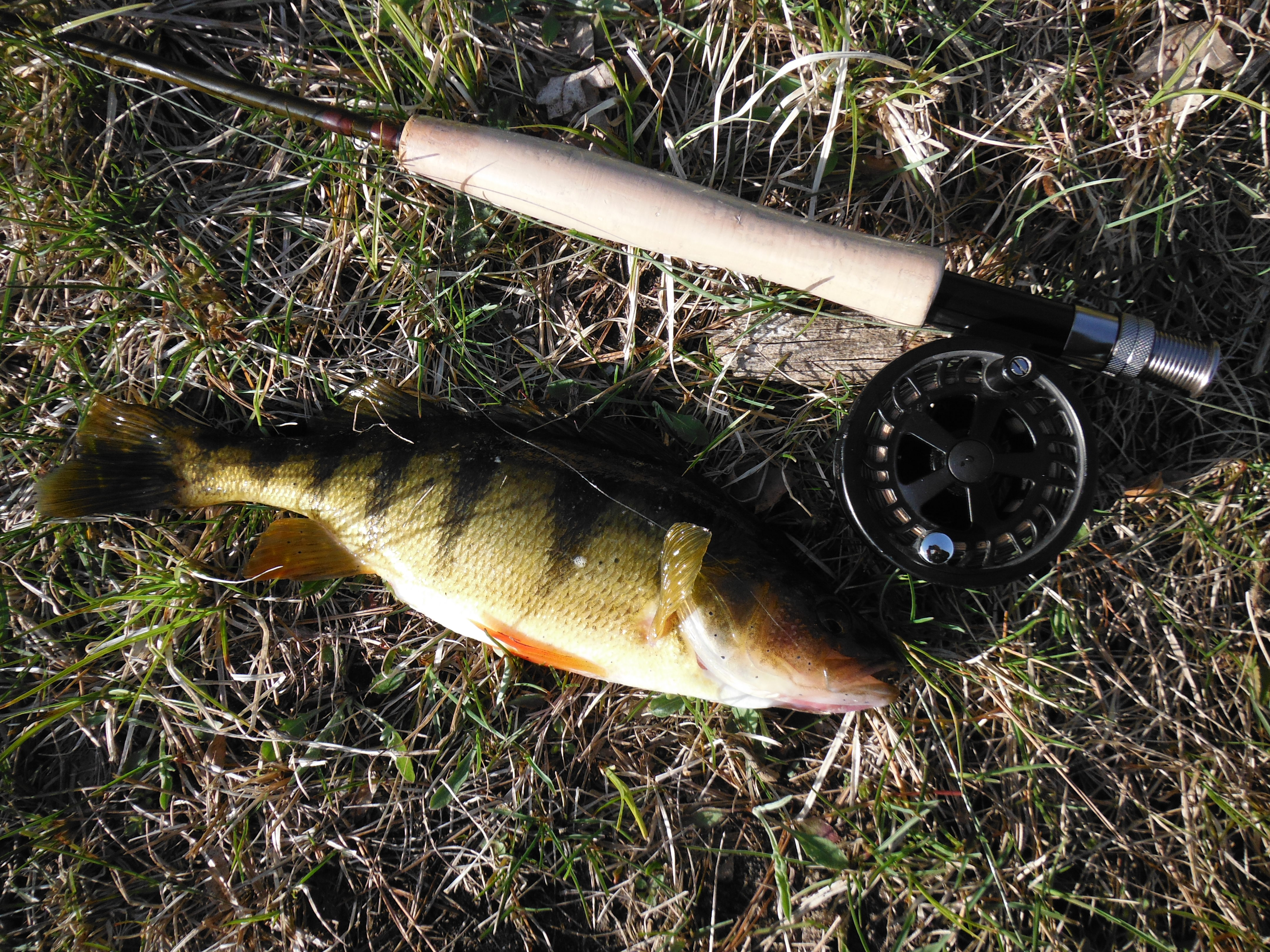 """First and only perch EVER from this pond, and not a little guy either (12 1/2"""")"""