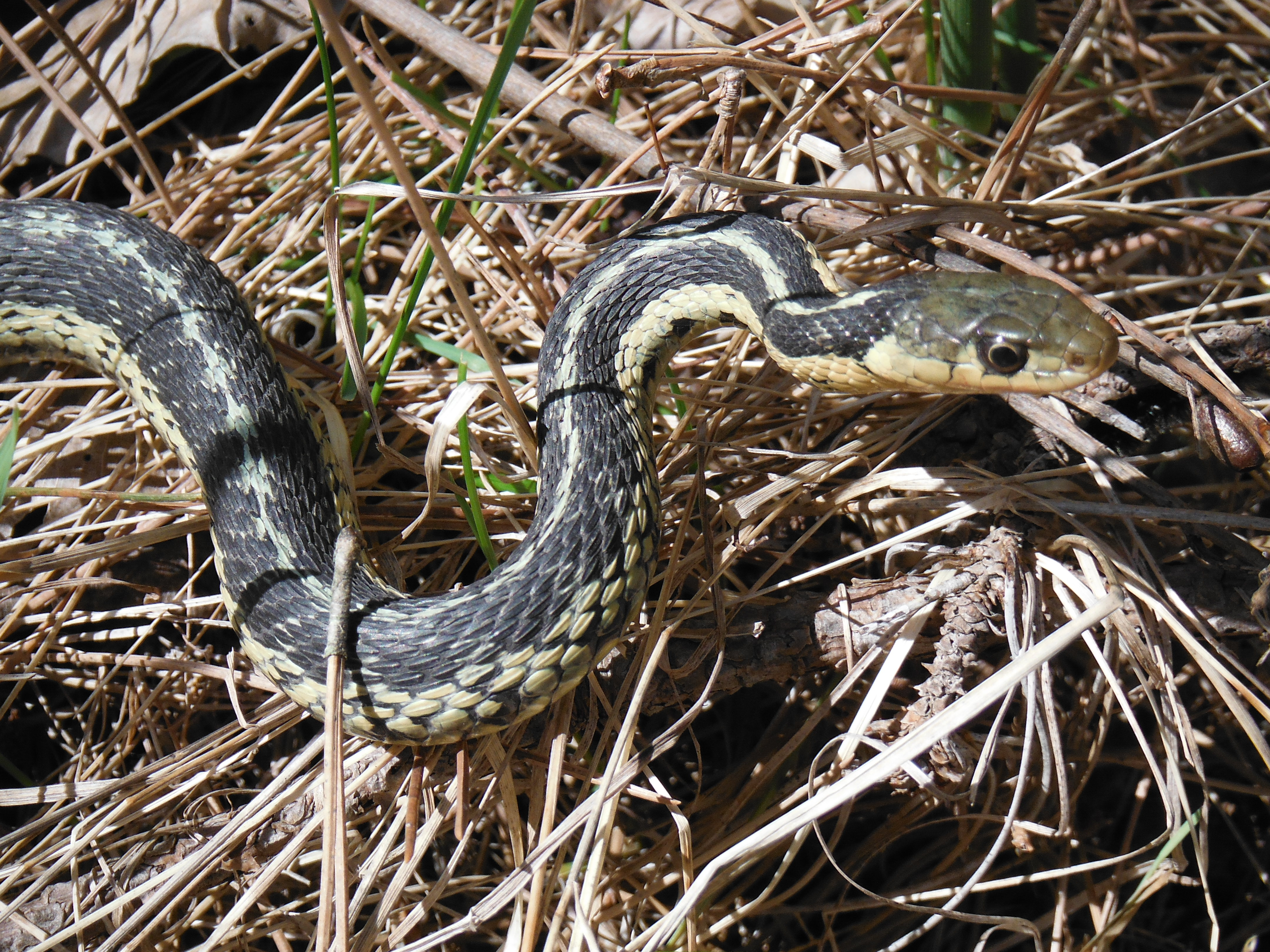 Watch out or I'll pop you one, buddy!  Eastern garter in striking pose