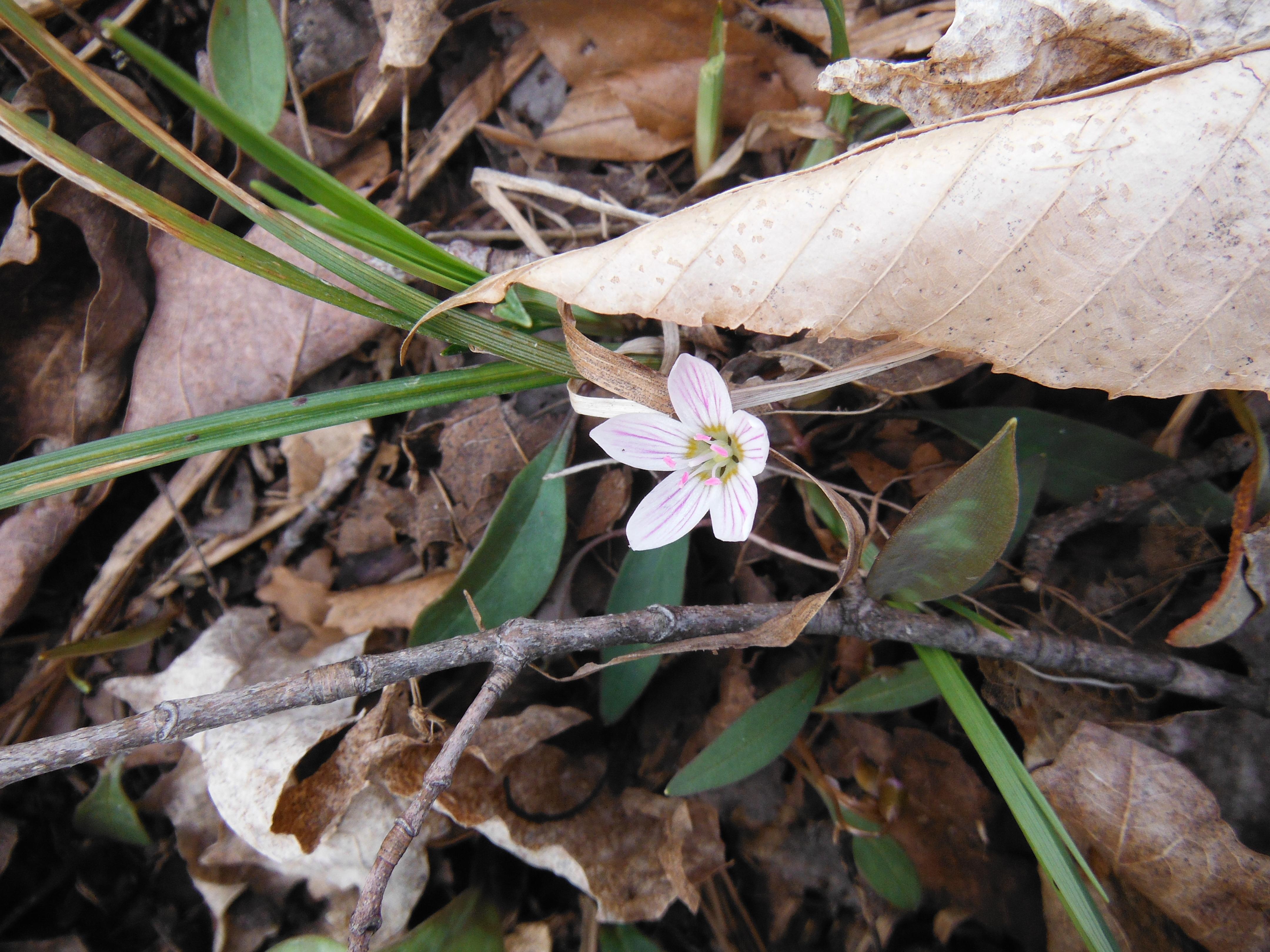 Spring beauty (Claytonia virginiana)