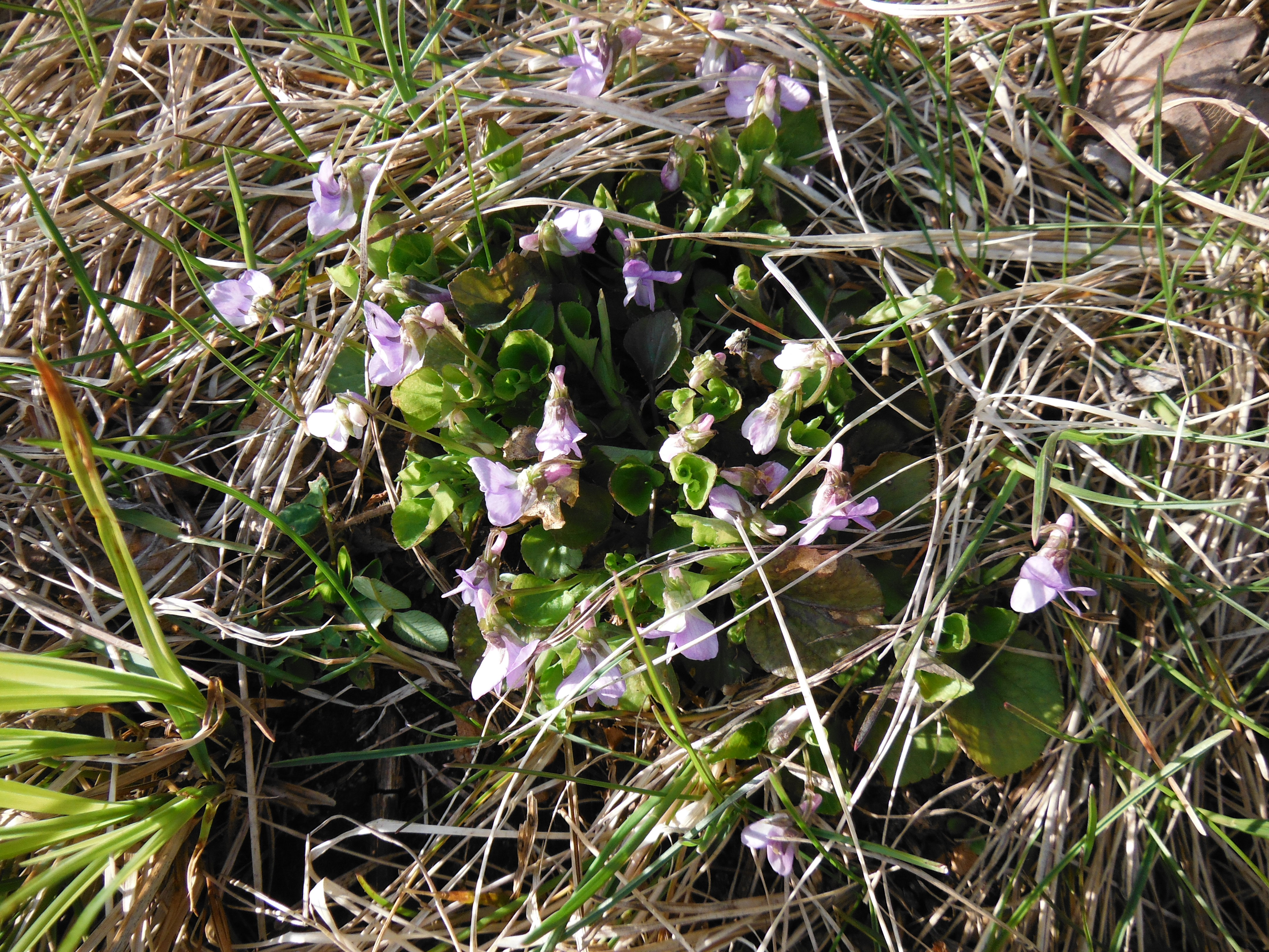 Violets blooming by the shore of the pond
