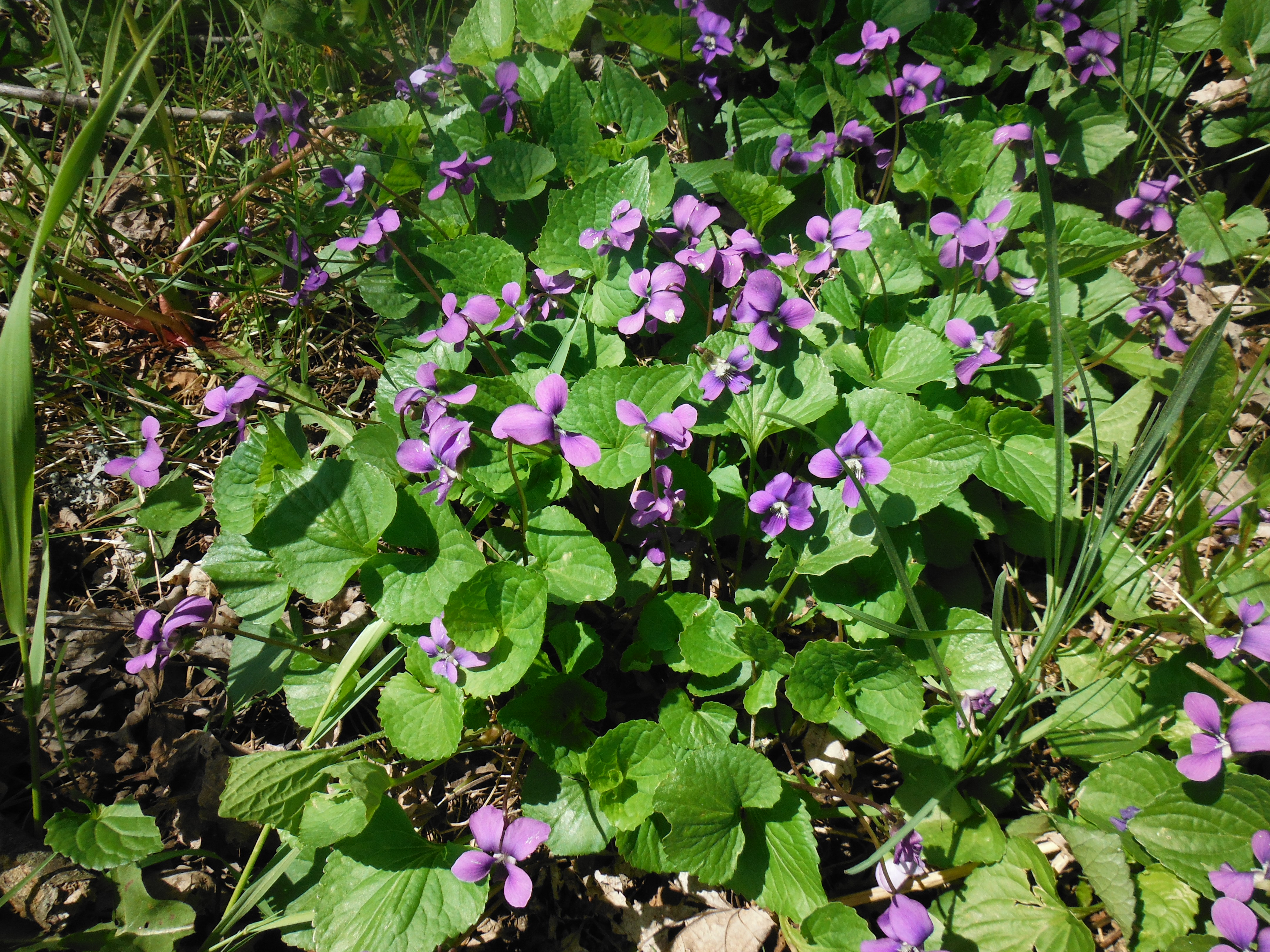 Beautiful violets on the way to the Pond