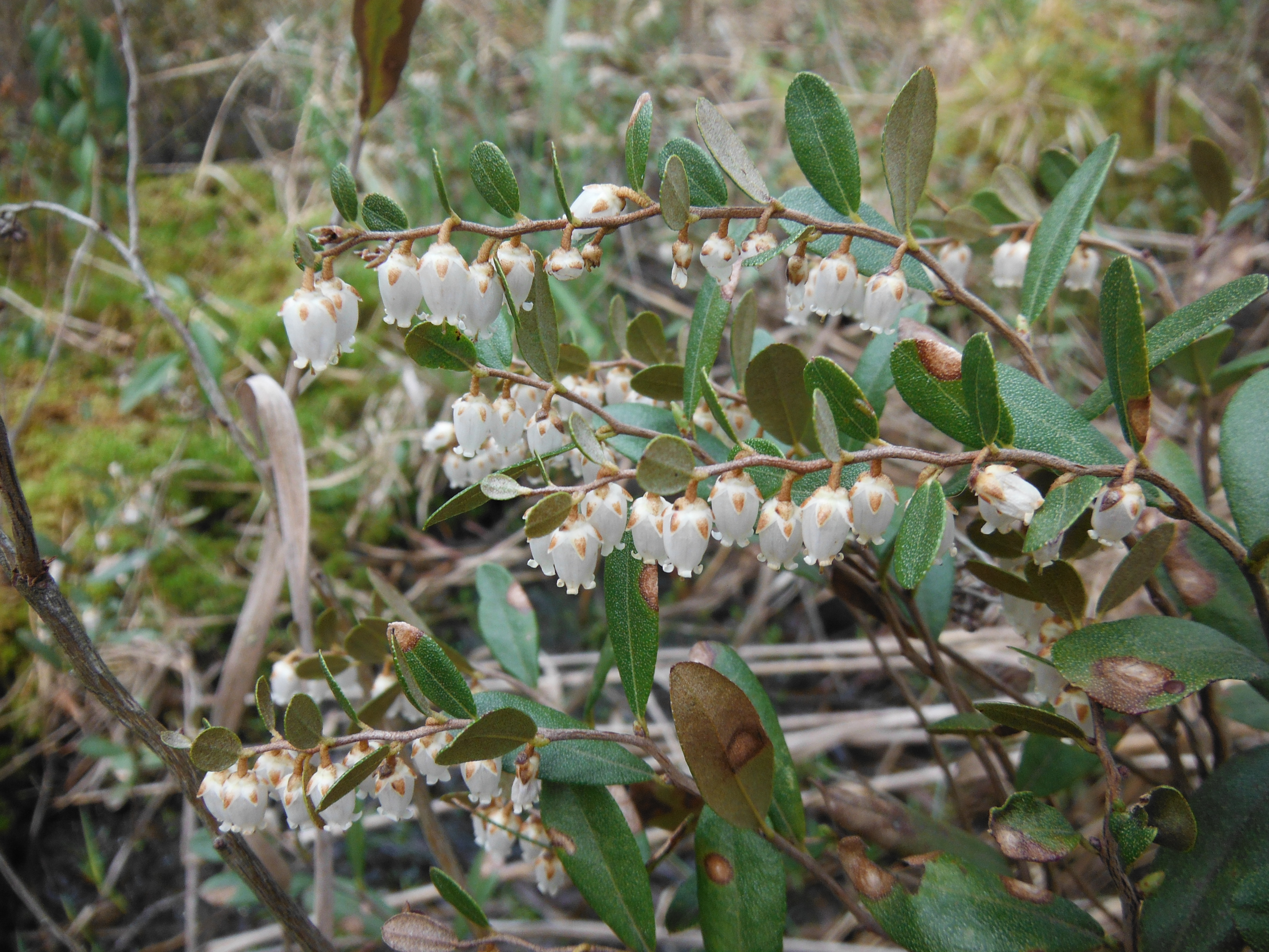 Leatherleaf (Chamedaphne calyculata) blooming in a nearby boggy spot