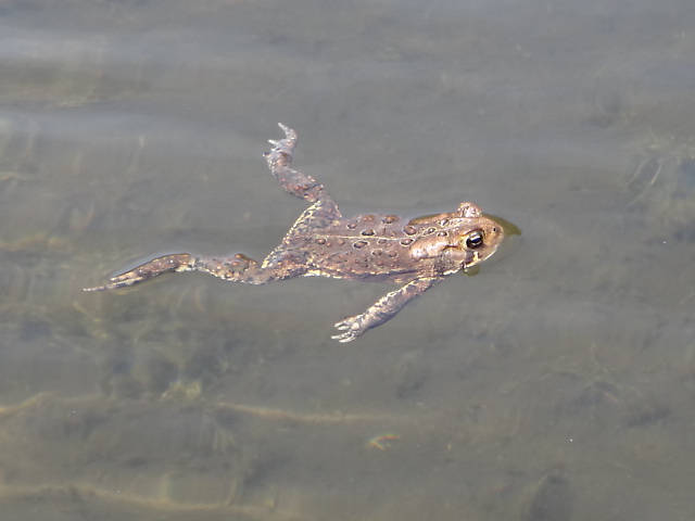 "Our constant companions, good old Bufo americanus...Todd said, ""I didn't know toads could swim!"""
