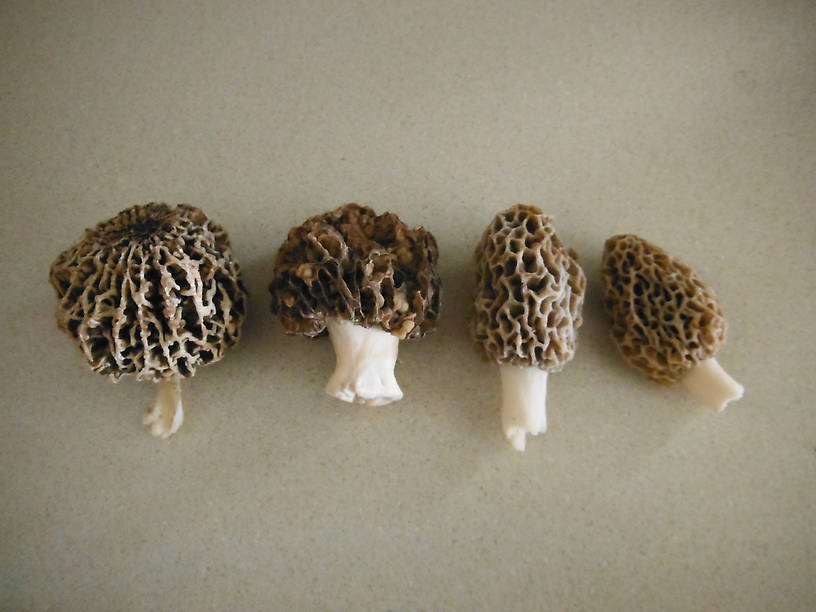 Our morel haul