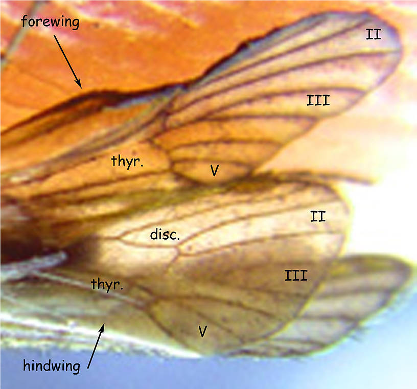 Portion of probable Apatania wings