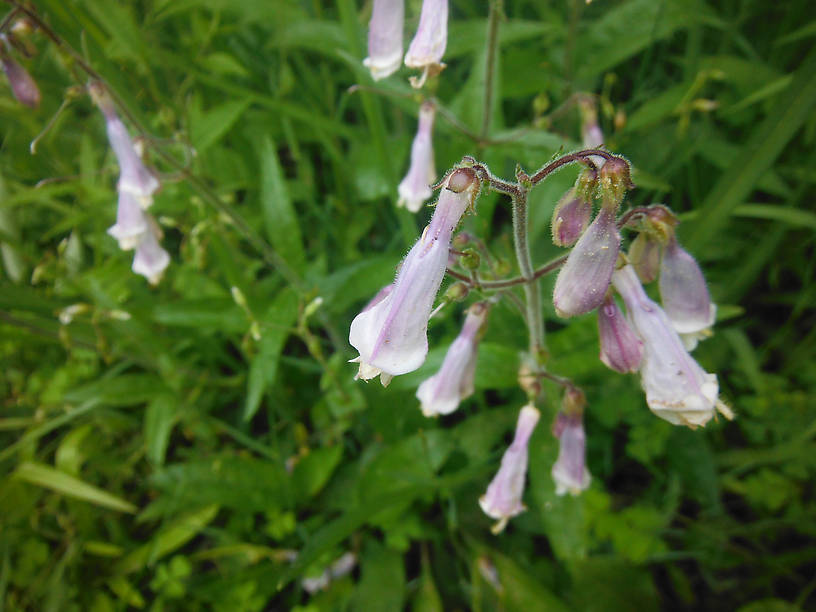Can't have a post without wildflowers!  Beardtongue (Penstemon digitalis)