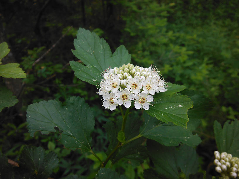 Ninebark (Physocarpus opulifolius) just starting to bloom