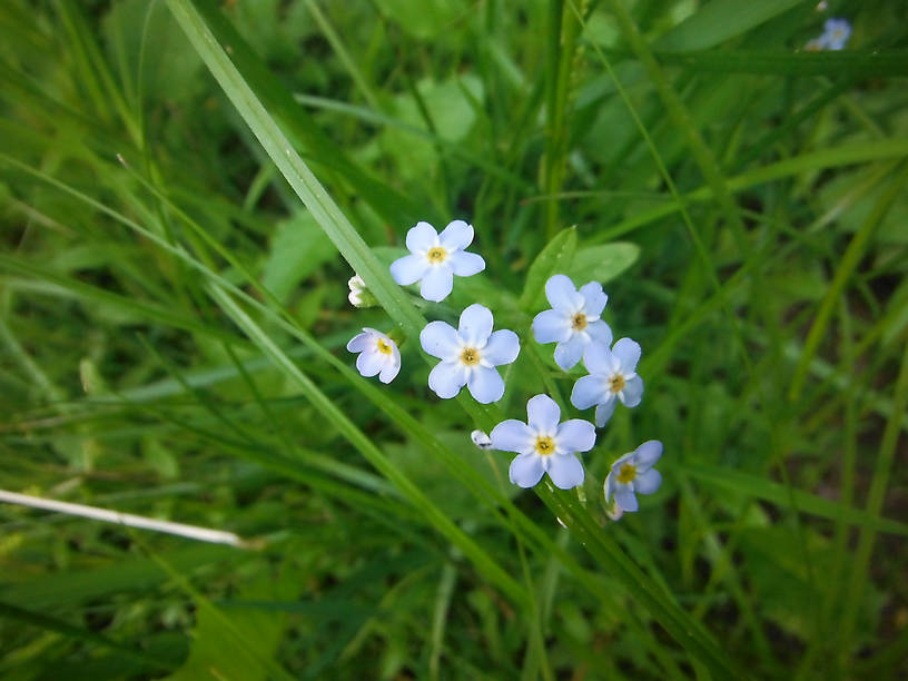 Forget-me-not (Myosotis sp.)