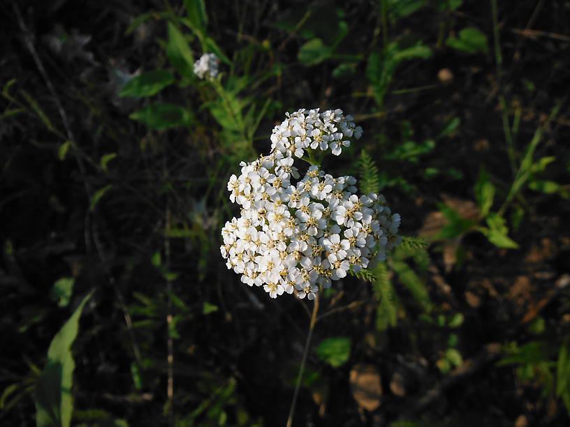 Yarrow (Achillea millefolium) is just starting to bloom