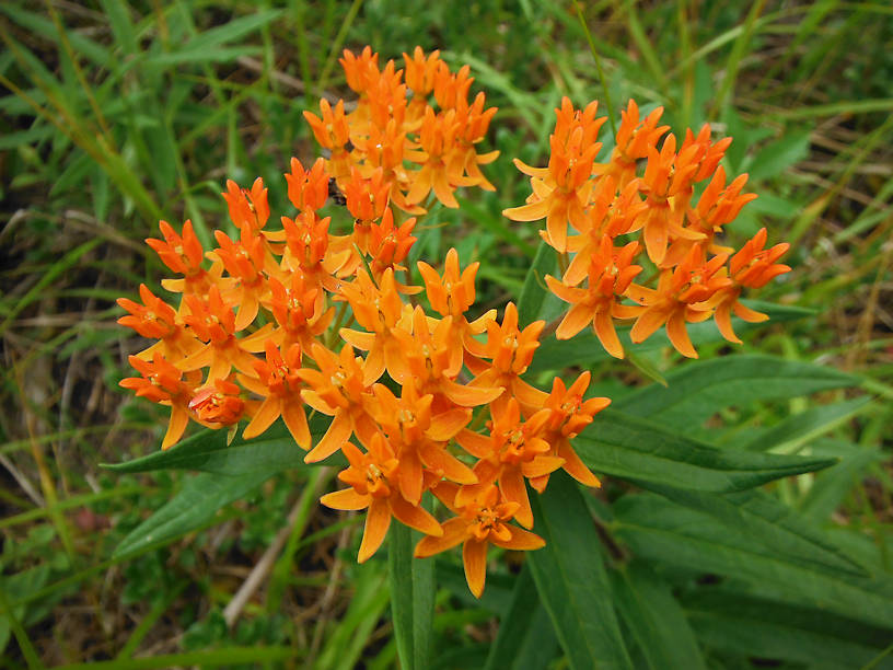 Butterflyweed (Asclepias tuberosa) - the only milkweed without milky sap!