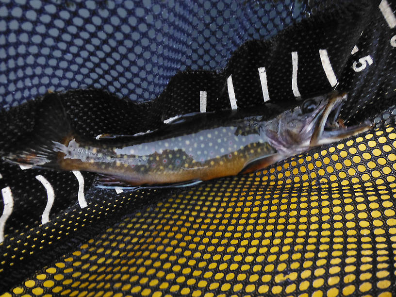 A very richly colored pond brookie