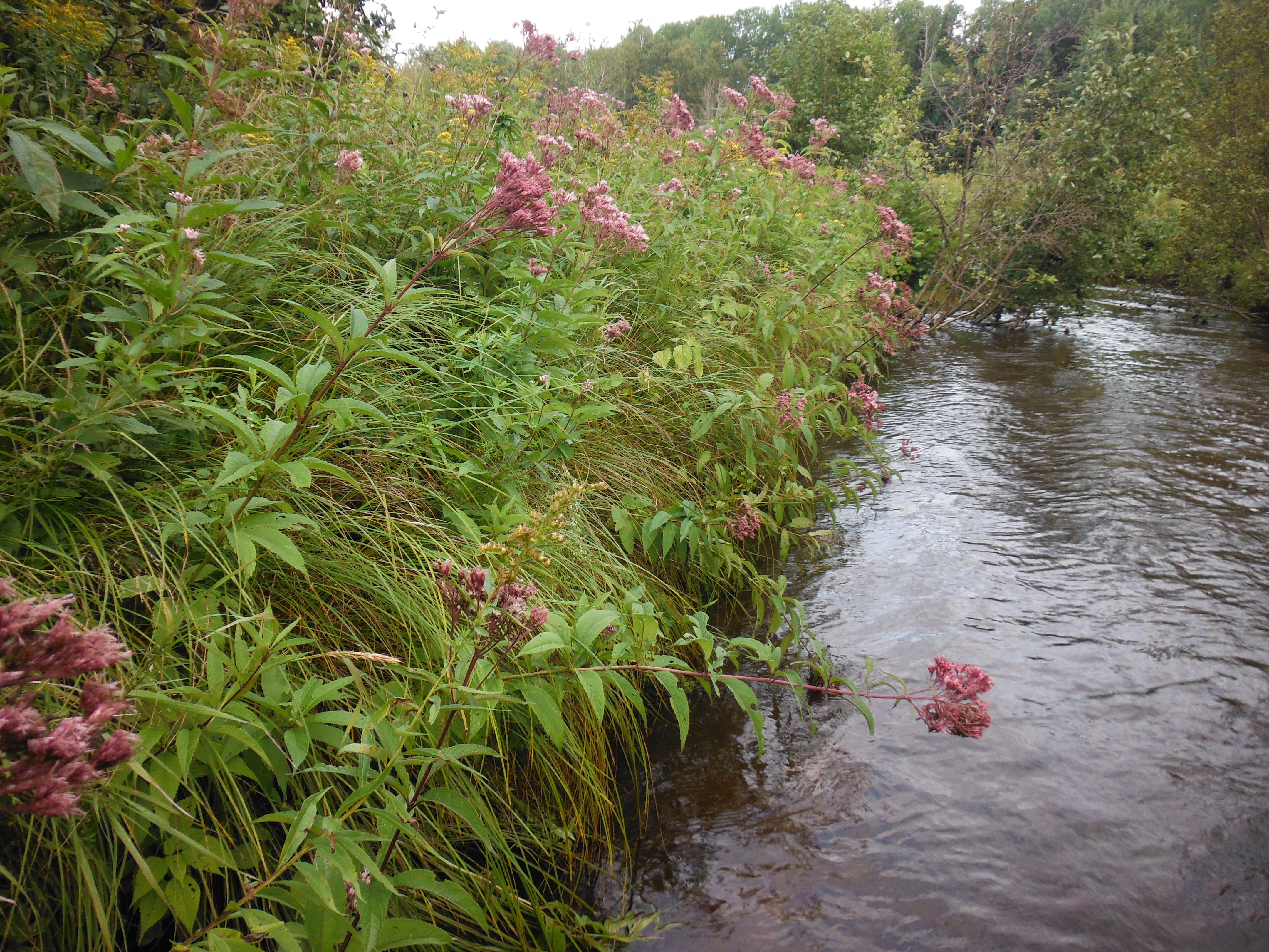 Again, this isn't 9-footer water, pull out that little 3-weight...Joe-pye-weed just past its prime