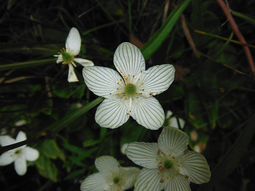 Grass-of-Parnassius (Parnassia glauca) was all over the banks