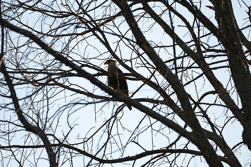 Crested Caracara in Munising in the UP...It's normal northern most range is southern Texas