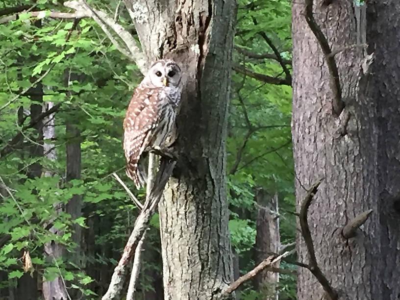 Barred Owl MN