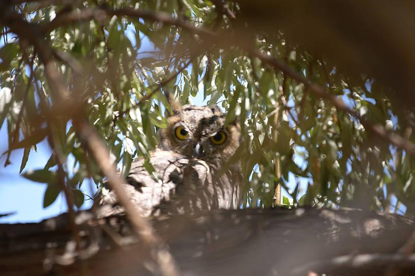 Great Horned Owl Antelope Island Utah