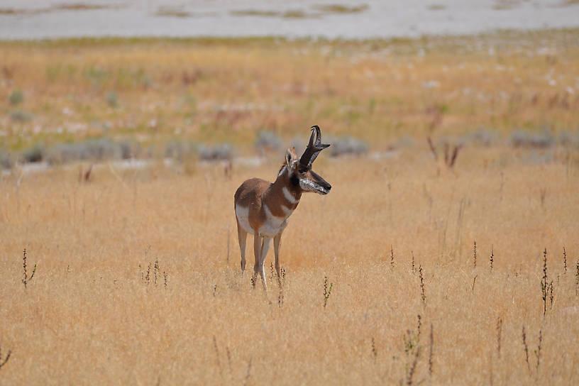 Antelope on Antelope Island