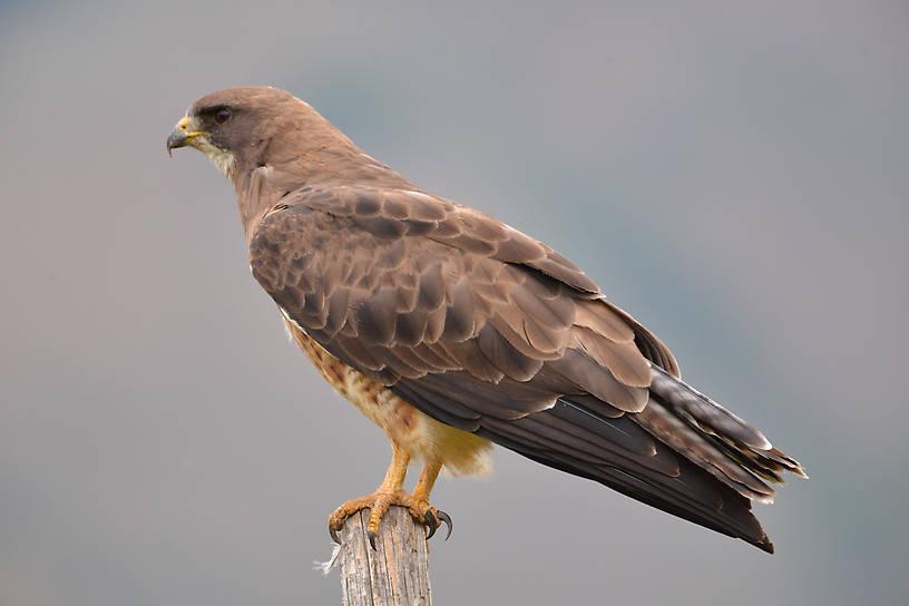 Swainson's Hawk Montana