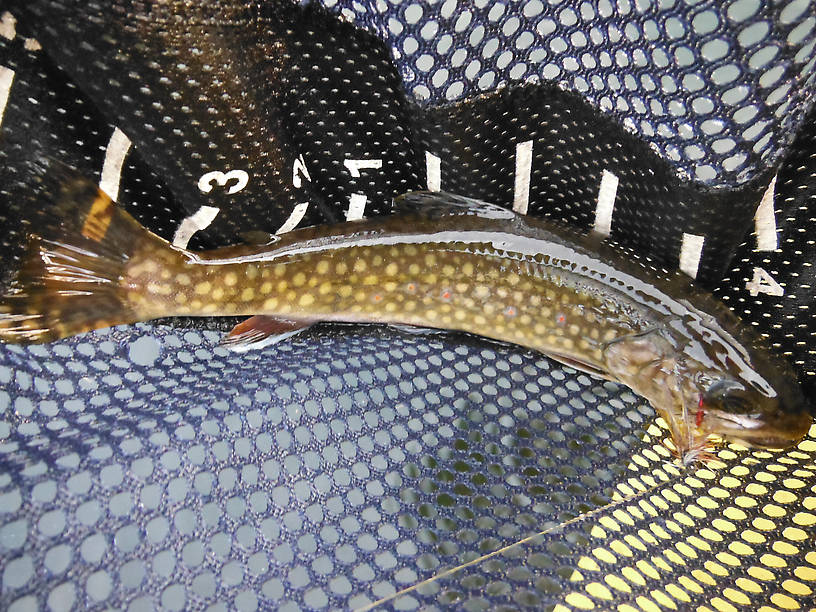 Never seen a brookie like this before