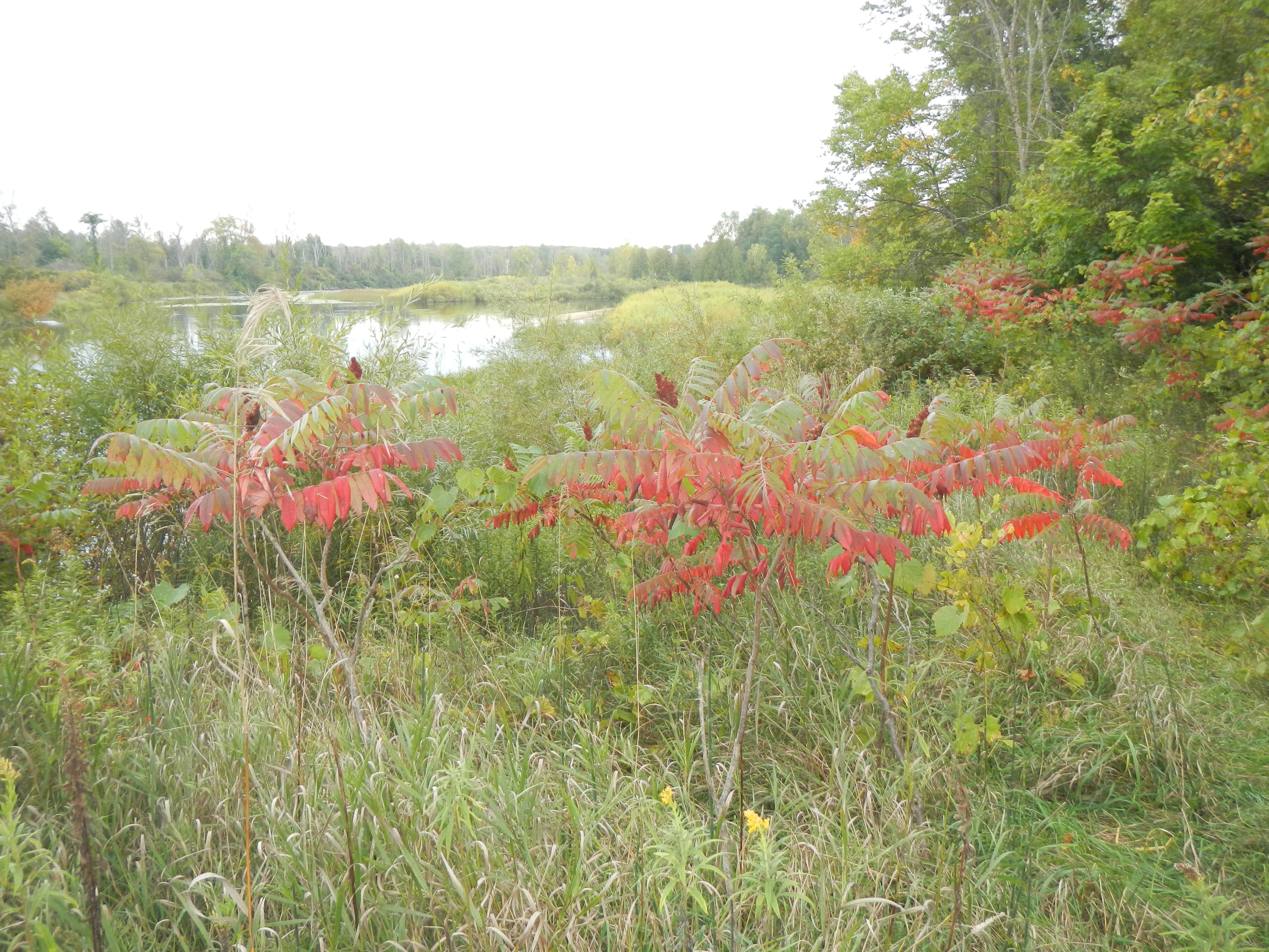 Fall colors are just starting, the sumac is always among the first